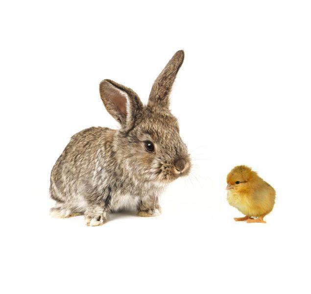 Jodi's Annual Chicks and Bunny Warning