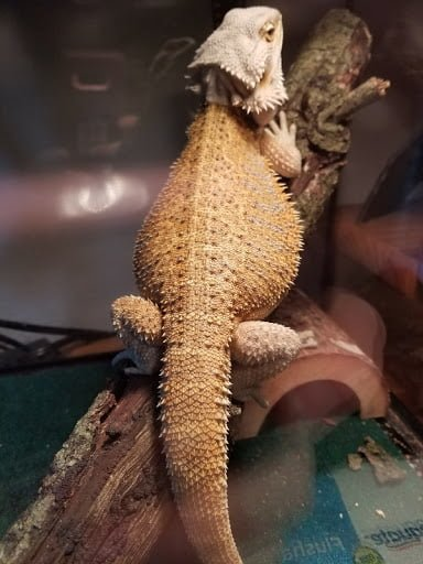 PODCAST: Interest in the Beardies
